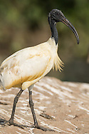 A black-headed ibis stands on a large rock in a shallow lake, Ranganathittu Bird Sanctuary, India