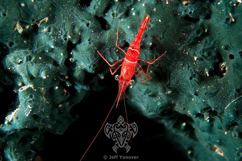 Hinge-Beak Shrimp on Sponge<br /> <br /> shot in Indonesia