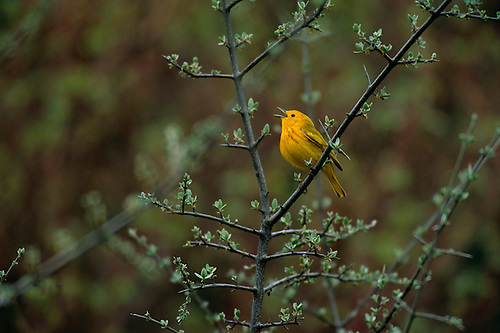 Yellow Warbler   Black Hills, South Dakota. In Mid May, A Yellow