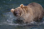 A Grizzly Bear (Ursus arctos) shakes his massive head as he fishes in Katmai National Park, Alaska.