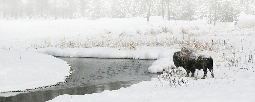 Lone bison in the middle of winter in Yellowstone. The stream forms a leading line into this composition and seems to leave this bison to the stress of surviving a harsh winter.