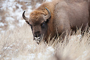 Wisent (Bison bonasus) in snow covered dune landscape