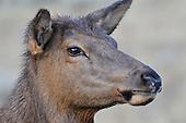 Wildlife: Elk, Cow Elk