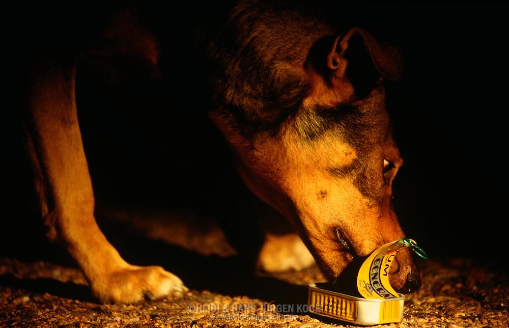 PRT, Portugal: Streunender Hund, Haushund (Canis lupus familiaris), leckt nachts eine leere Fischdose aus, Monte Gordo, Algarve | PRT, Portugal: Stray dog, domestic dog (Canis lupus familiaris), licking out an empty fish tin at night, Monte Gordo, Algarve |