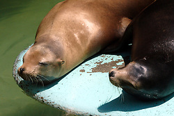 24 July 2005:   Sea lions are sea mammals characterized by external ear flaps, long foreflippers, the ability to walk on all fours, and short, thick hair.