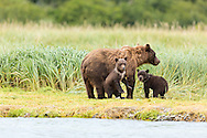 Sow brown bear (Ursus arctos) and cubs are wary of other bears as they look for spawning salmon in Geographic Creek at Geographic Harbor in Katmai National Park in Southwestern Alaska. Summer. Afternoon.