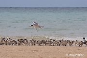 creche of crested tern chicks, Sterna bergii or Thalasseus bergii, wait at shoreline as adult returns from feeding with a bait fish in mouth, Turu Cay, Torres Straits, Queensland, Australia