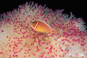 white-maned or pink anemonefish, Amphiprion perideraion, in magnificent sea anemone, Heteractis magnifica, Alamanda Bay, Bali, Indonesia