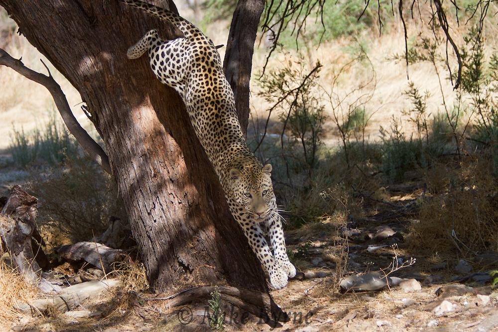 Leopard (Panthera pardus) at Dusternbrook Guest Farm, Namibia.