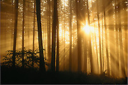 Trees, fog sun and sun rays. Spencer Butte Park, Eugene, Oregon.