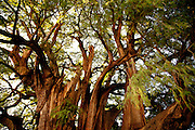 El Arbol El Tule - The Largest Tree in the World!