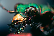 DEU, Deutschland: Porträt von einen Feldsandlaufkäfer (Cicindela campestris), Nahaufnahme | DEU, Germany: Field Tiger Beetle (Cicindela campestris), insect portrait, close-up | ....