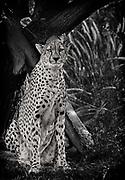 Cheetah at the San Diego Safari Park