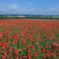 Poppies in Organic wheat field Oxfordshire UK 2005. You can see what the normal non orgacic fields look like in the background