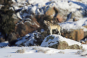 Gray wolf howls from a large boulder in winter habitat in Yellowstone