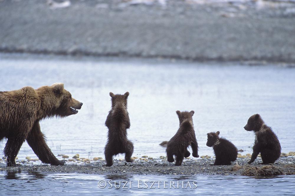 Alaskan Brown Bear<br /> Ursus arctos middendorffi<br /> Sow with 3 month old cubs<br /> Katmai National Park, Alaska