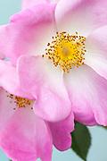 Rosa 'Complicata' - Gallica rose