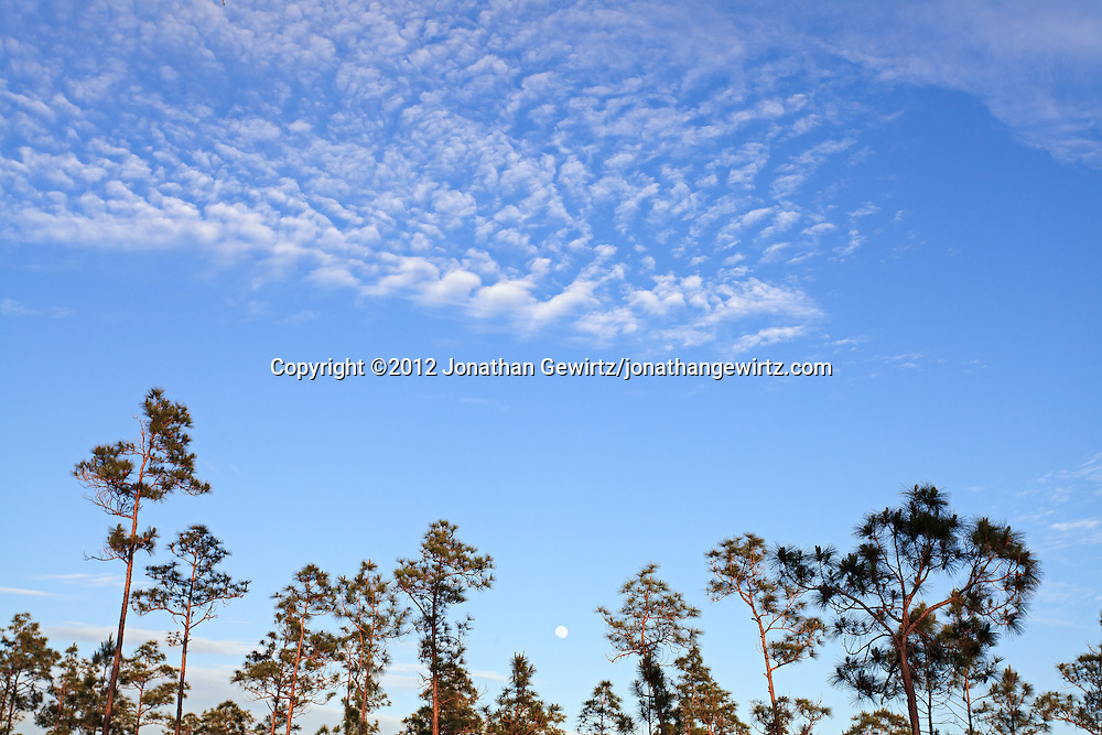 A full moon minus one day appears in the afternoon sky over a grove of slash pines in Everglades National Park, Florida. WATERMARKS WILL NOT APPEAR ON PRINTS OR LICENSED IMAGES.