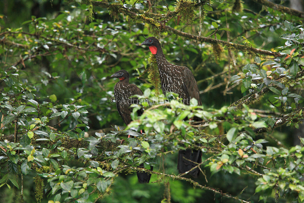 Two Crested Guans (Penelope purpurascens)  in rainforest, La Selva Biological Station, Costa Rica. <br />