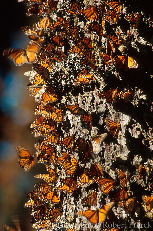 MEXICO, MICHOACAN, ANGANGUEO millions in Monarch Butterfly Sanctuary