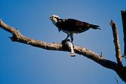 Osprey eating fish - Florida