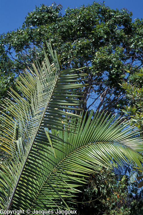 Tree and palm leaves in wooded savanna (called cerrado in Brazil), Chapada dos Veadeiros, Cavalcante, Goias, Brazil