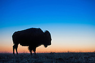 20140417 Plains Bison
