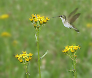 A Hummingbird Checks Out A Yellow Flower looking For Nectar, Small Bird, The Ruby Throated Hummingbird : Low Res File - 8X10 To 11X14 Or Smaller, Larger If Viewed From A Distance