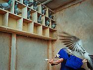 Pigeon fancier inspecting one of his birds.