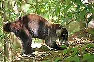 White-nosed Coati (Nasua narica) eating.  Rainforest, Rincon de la Vieja National Park, Costa Rica. <br />