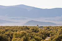 LLAMA (Lama glama) EN LA PUNA, PROV. DE JUJUY, ARGENTINA