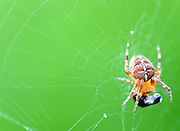 Spider devours insect caught in its web.
