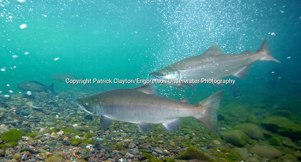 Sockeye Salmon<br /> <br /> Patrick Clayton/Engbretson Underwater Photography