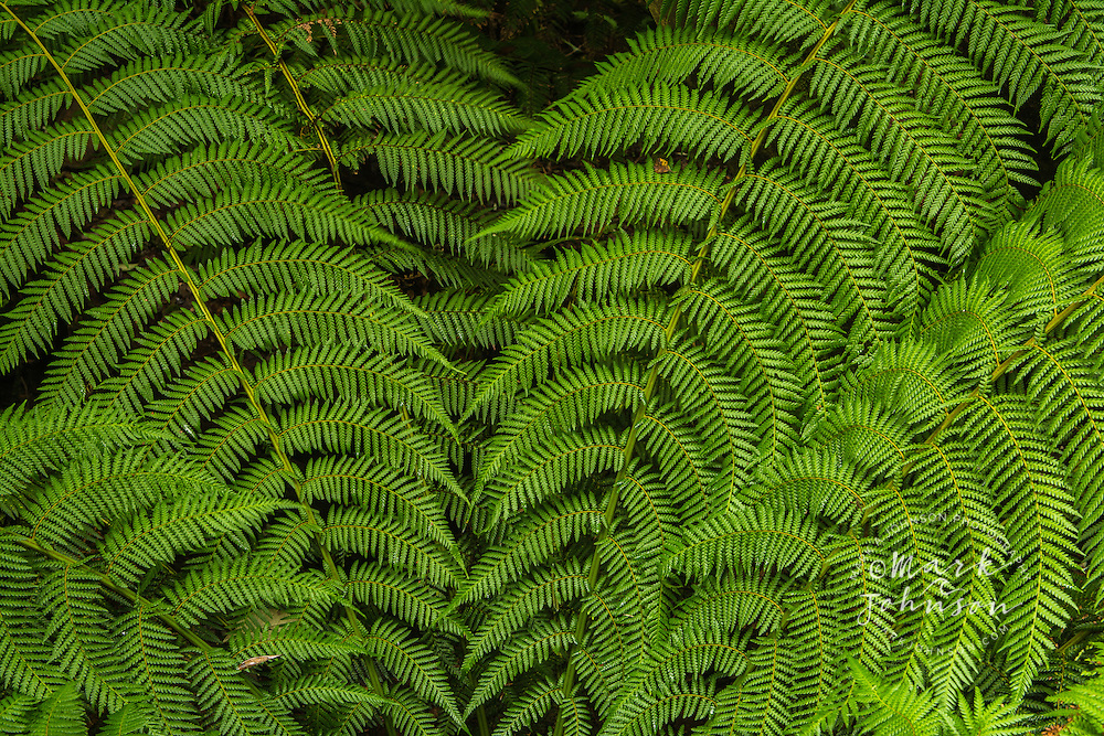 Tree fern fronds, St. Columba Falls, Tasmania