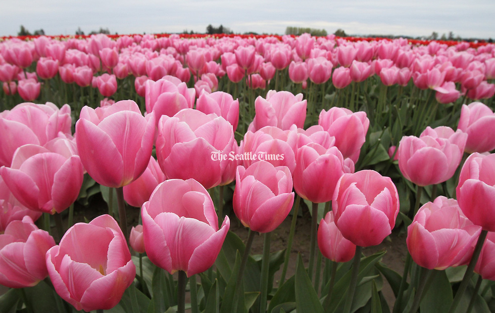 Tulips are pretty in pink. (Alan Berner / The Seattle Times)