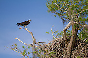 An osprey takes a higher approach to watching the nest.<br /> Blue Cypress Lake, FL