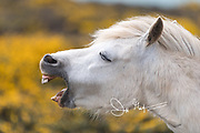 A Wild Welsh pony makes a comical expression at St. David's Head along the Pembrokeshire Coast National Park in southwest Wales.