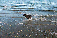 Marley the Cocker Spaniel enjoys the ocean at Island View Regional Park near Victoria, BC Canada