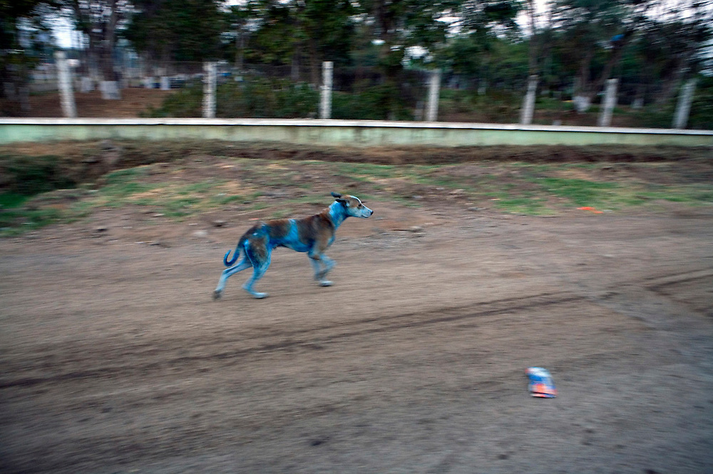 Many of the factories in Ankleshwar manufacture dyes and the effluents are dumped in the river. Stray dogs that live in the area carry the same color on their skin as the dye factory workers.