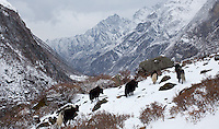 View of yaks standing together in the snow, with a magnificent view of Langtang valley and mountains in the background, Nepal