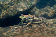 Bullfrog<br />
