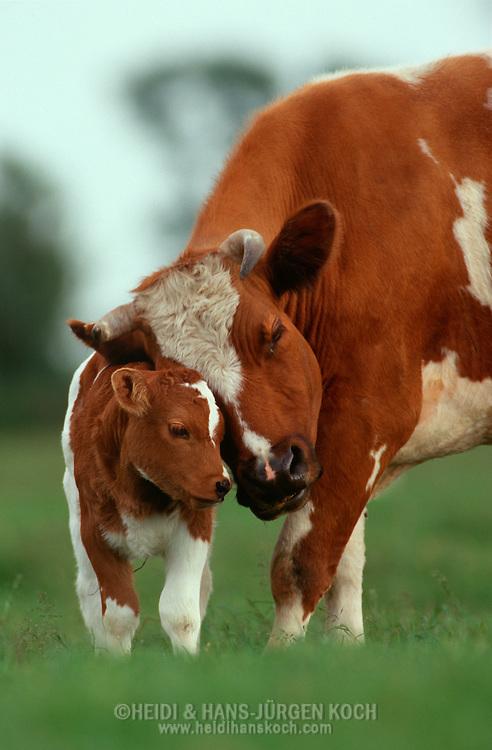 DEU, Deutschland: Hausrind (Bos taurus), Kuh und Kalb auf der Weide, Kuh schmiegt zärtlich ihren Kopf an den Rücken ihres Kalbes, Mutter-Kind-Verhalten, Rasse: Rotbunte, Norddeutschland | DEU, Germany: Domestic cattle (Bos taurus), cow and calf on feedlot, cow?s head nestleing fondly to calf?s back, mother-child-behaviour, race: Red Holstein, Northern Germany |