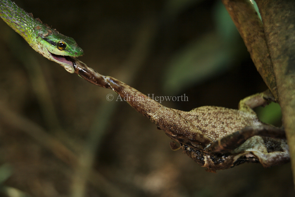 Green Parrot Snake (Leptophis ahaetulla) catching a Smooth-skinned Toad (Bufo haematiticus) on a river bank. Corcovado National Park, Osa Peninsula, Costa Rica. <br />
