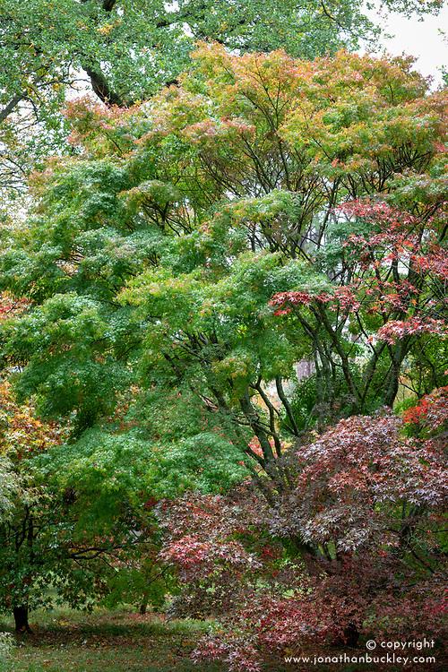 Acer palmatum 'Katsura' AGM - Japanese maple