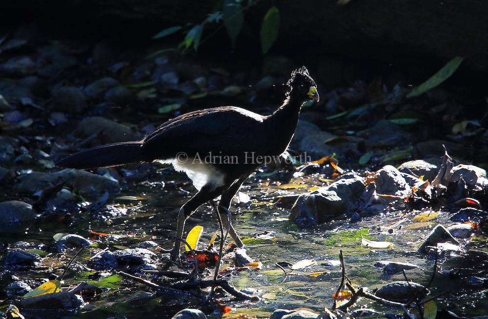 Male Great Curassow (Crax rubra) in rainforest. Sirena, Corcovado National Park; Osa Peninsula; Costa Rica. <br />