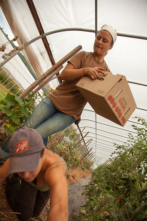 Natalie Horvath (Top) and Emily Hammon .harvest tomatos at Green Edge Gardens in Amesville. Photo by Ben Siegel/ Ohio University
