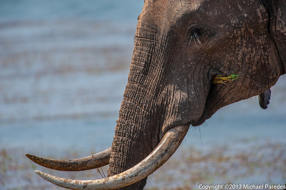 An elephant eating grass at Lake Kariba, Zimbabwe