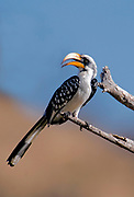 Eastern Yellow-billed Hornbill (Tockus flavirostris), female.  Samburu NP, Kenya.