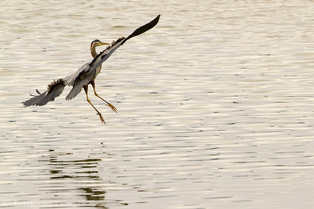 A Great Blue Heron (Ardea herodias fannini) makes an approach to land in the Hood Canal of Puget Sound, Washington state, USA