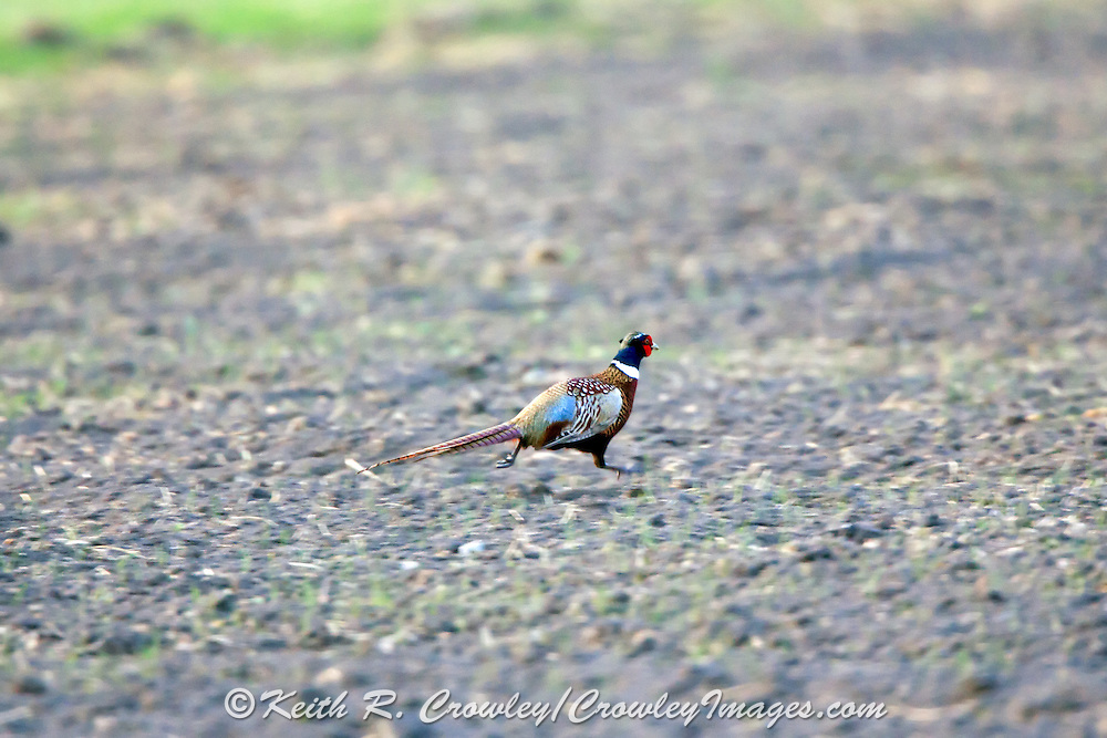 Rooster Pheasant running